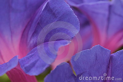Morning Glory flower petals