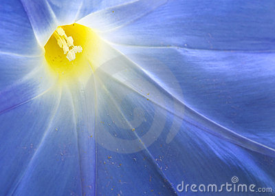 Morning Glory (Ipomoea tricolor) Macro
