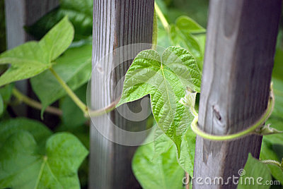 Morning glory leaves (Ipomoea)