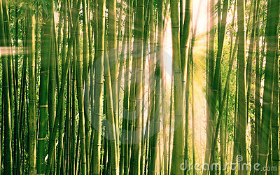 Morning light breaking through a bamboo forest
