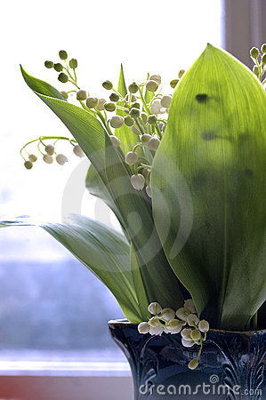 Morning lily-of-the-valley