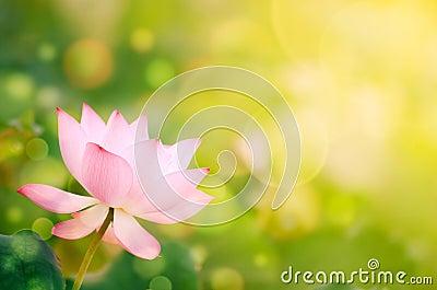 Morning lotus