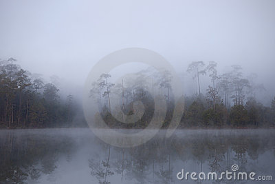 Morning mist cover pine tree forest