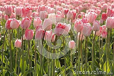 Morning Pink Tulips