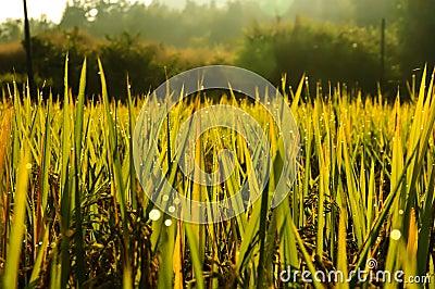 Rice paddies dew