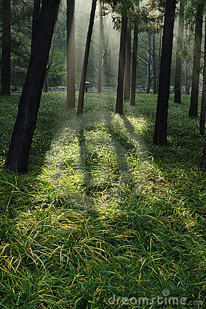 Morning Sunlight into Forest