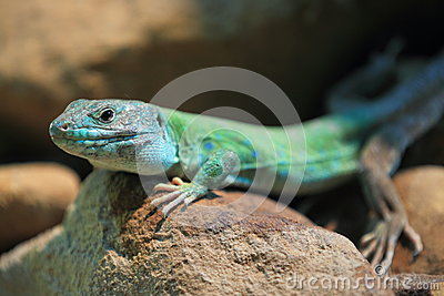 Moroccan eyed lizard