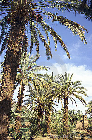 moroccan palm grove detail of an