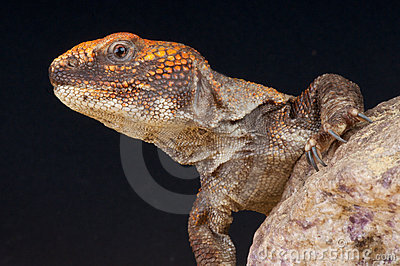 Moroccan spiny-tailed agama