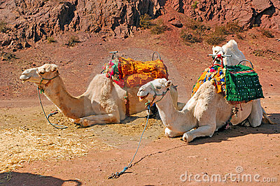 Morocco, Marrakech: Camels