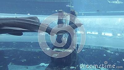 Morski akwarium z ogromną ryba dla przyciąganie rekinów Atakuje w aquapark Aquaventure w Atlantis kurortu zapasie zbiory wideo