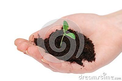 Mãos que prendem o seedling