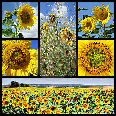 Free Mosaic Photos Of Sunflowers Royalty Free Stock Images - 12458579