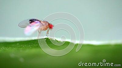 Mosca del vinagre del insecto almacen de video