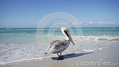 Mosca do pelicano ausente video estoque