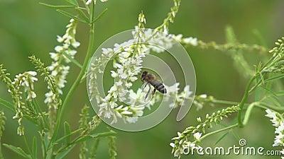Moscas de abeja entre el pequeño primer de las flores blancas, cámara lenta almacen de video