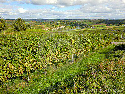 The Moselle Vineyard