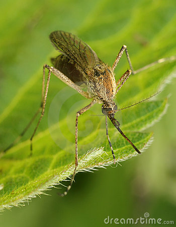 Free Mosquito Stock Images - 9485814