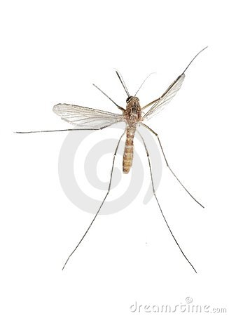 Free Mosquito Bug Royalty Free Stock Photography - 13256227