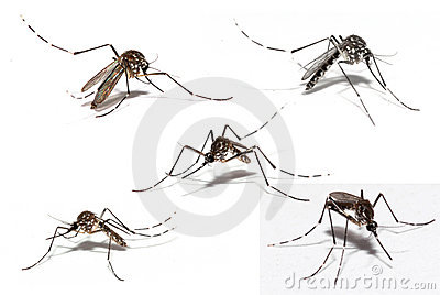 similarities between malaria and dengue fever Exploring the relationship between zika and malaria  aedes mosquito, which  is also the mosquito known to spread dengue and yellow fever.