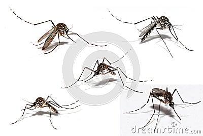 Dengue mosquito clipart - photo#18