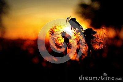 Mosquito on Dandelion Seed Heads Silhouette Stock Photo