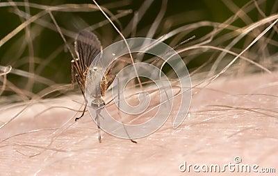 Mosquito on hairy skin