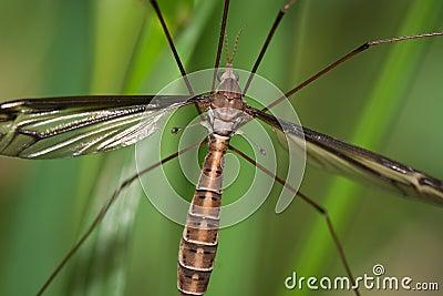 Mosquito Hawk