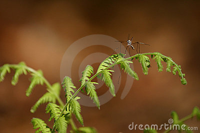 Mosquito hawk on fern