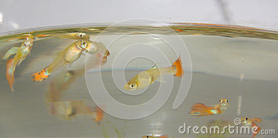 Mosquitofish in the fish tank