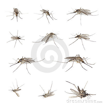 Mosquitos isolated on white