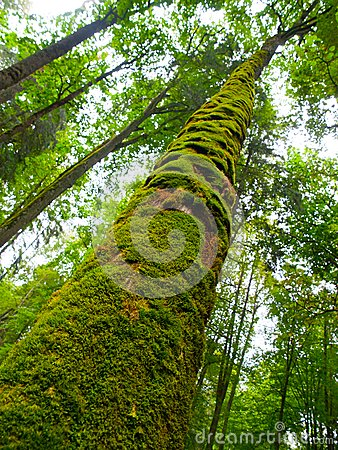 Free Moss Covered Trunk Royalty Free Stock Photo - 45178665