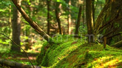Moss on dead tree. Dead tree trunk overgrown with moss deep in the forest 4K Time Lapse stock video footage