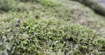 Moss on a forest rock. Close up - camera in motion - shallow depth of field stock video