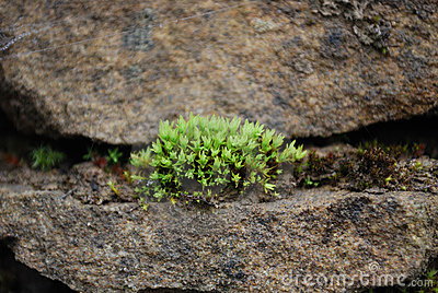 Moss Growing out of A Chink in Stone Wall