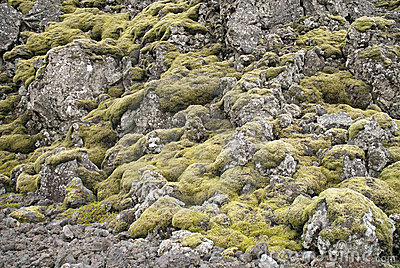 Moss and volcanic rock in iceland