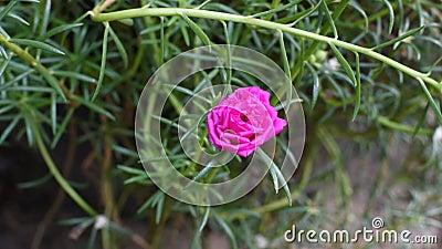 Mossa-ros blommarosa färger färgar att blomma, Timelapse