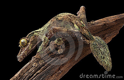 Mossy leaf-tailed gecko on vine