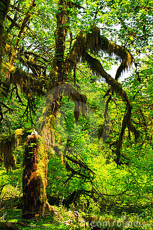 Mossy tree, Hoh Rain Forest, Olympic National Park