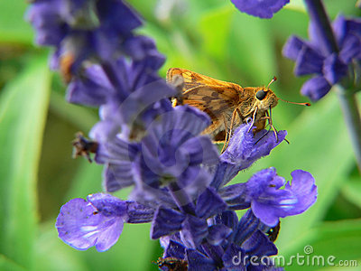 Moth on blue flower