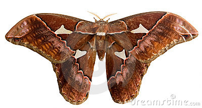 Moth with clipping path