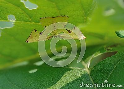 Moth (geometrid moth)