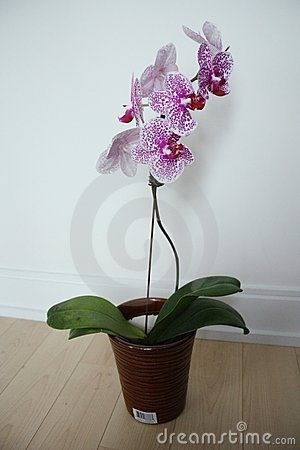 Free Moth Orchid Royalty Free Stock Images - 21026339