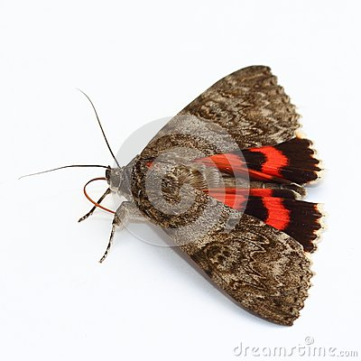 Moth - Red Underwing (Catocala nupta) over white