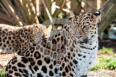 Mother Amur Leopard Protecting Cub