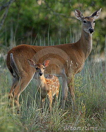 Free Mother And Baby Deer Royalty Free Stock Images - 10513339