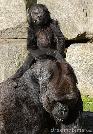 Free Mother And Baby Gorilla (Western Lowland Gorilla) Royalty Free Stock Photo - 22745295