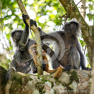Free Mother And Baby Of Silvered Leaf Langur Monkey Stock Photos - 75654563