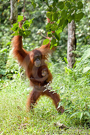 Free Mother And Baby Orangutan Royalty Free Stock Photography - 15447097