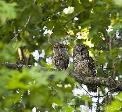 Free Mother And Baby Owl Royalty Free Stock Image - 732706